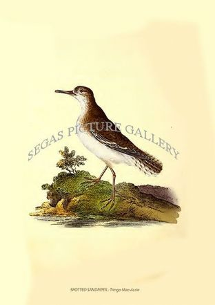 SPOTTED SANDPIPER - Tringa Macularia